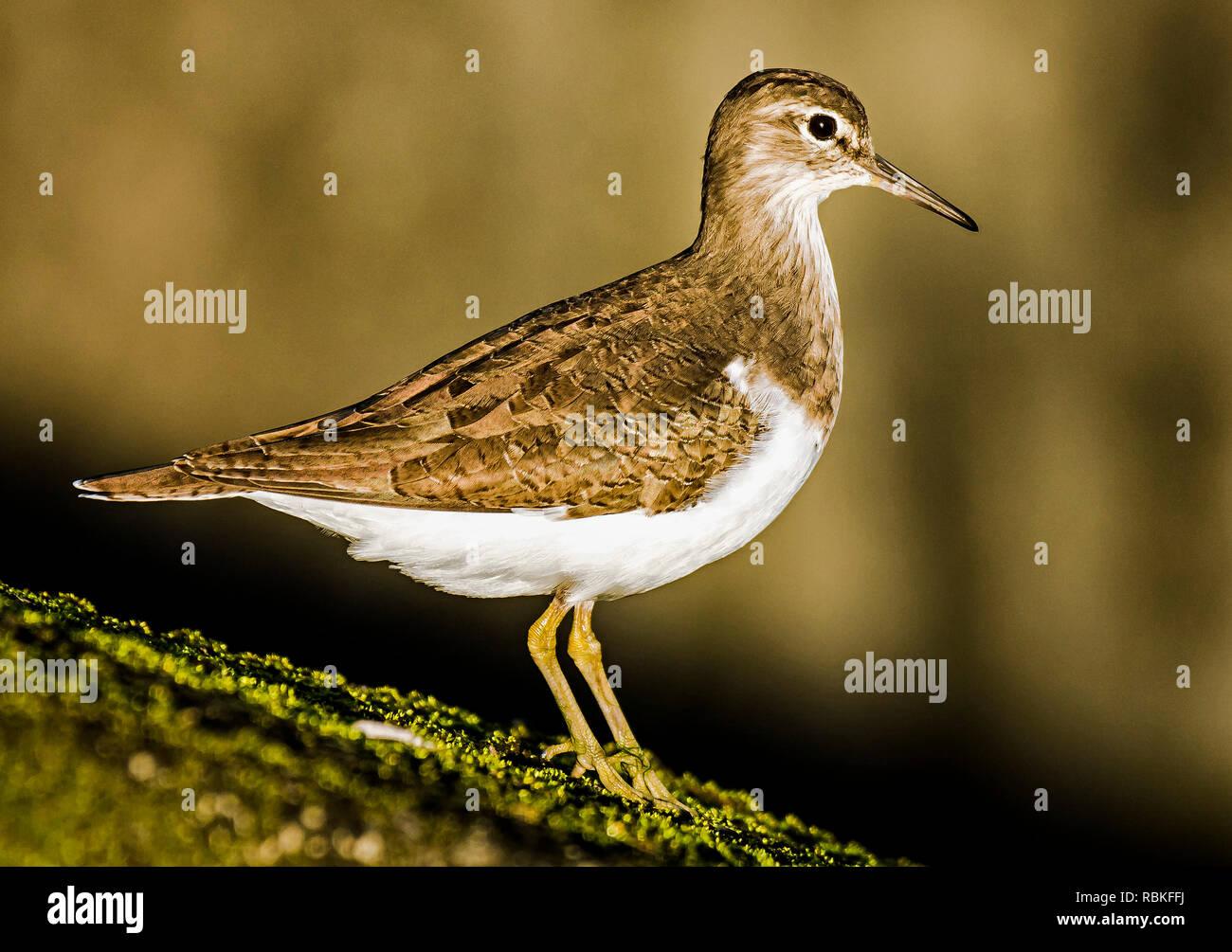 Common Sandpiper - Stock Image