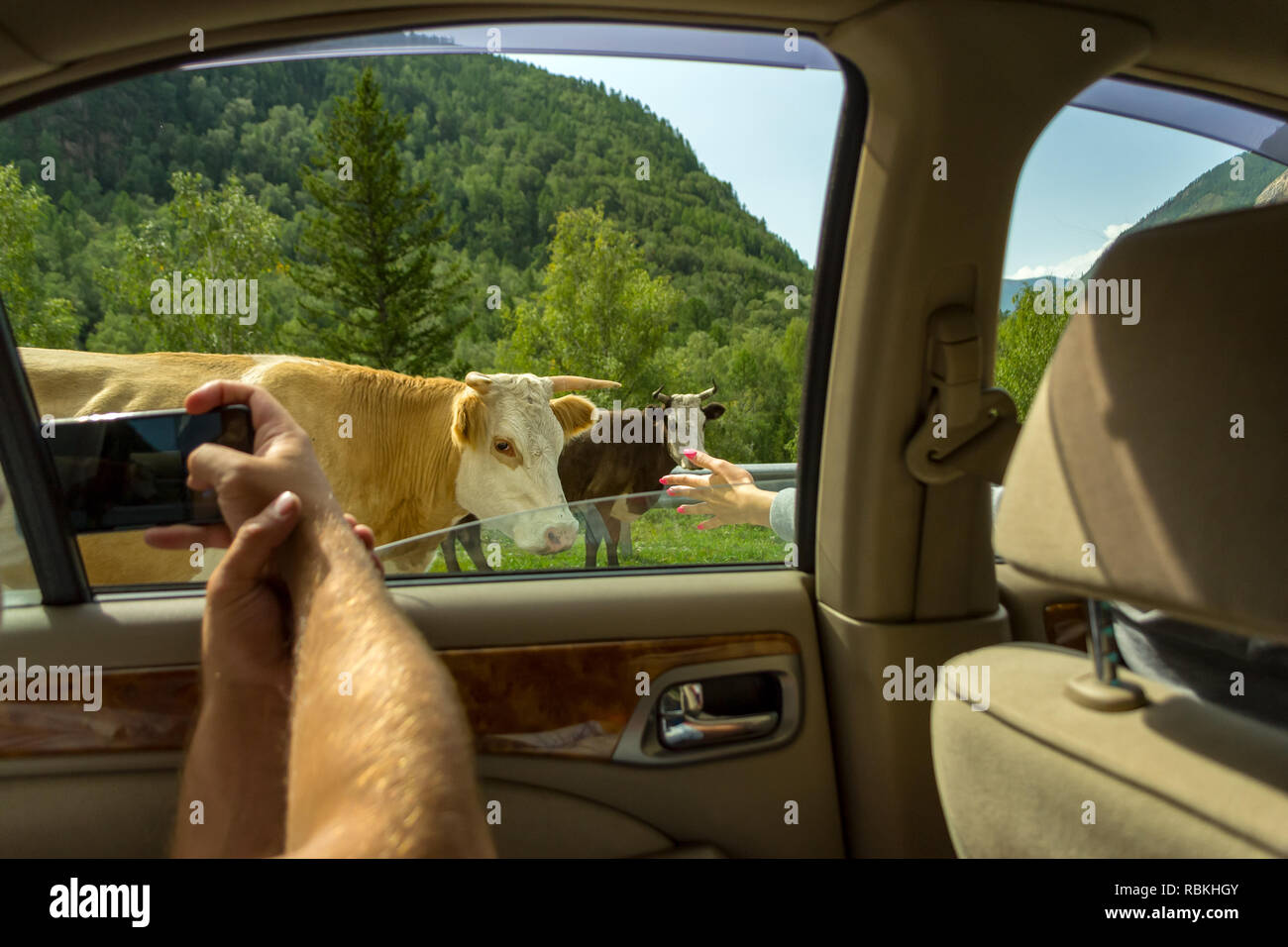 A young man pulling two hairy hands into the open window of a moving car holds a smartphone taking a photo of the cows in the Altai with blue clear sk - Stock Image