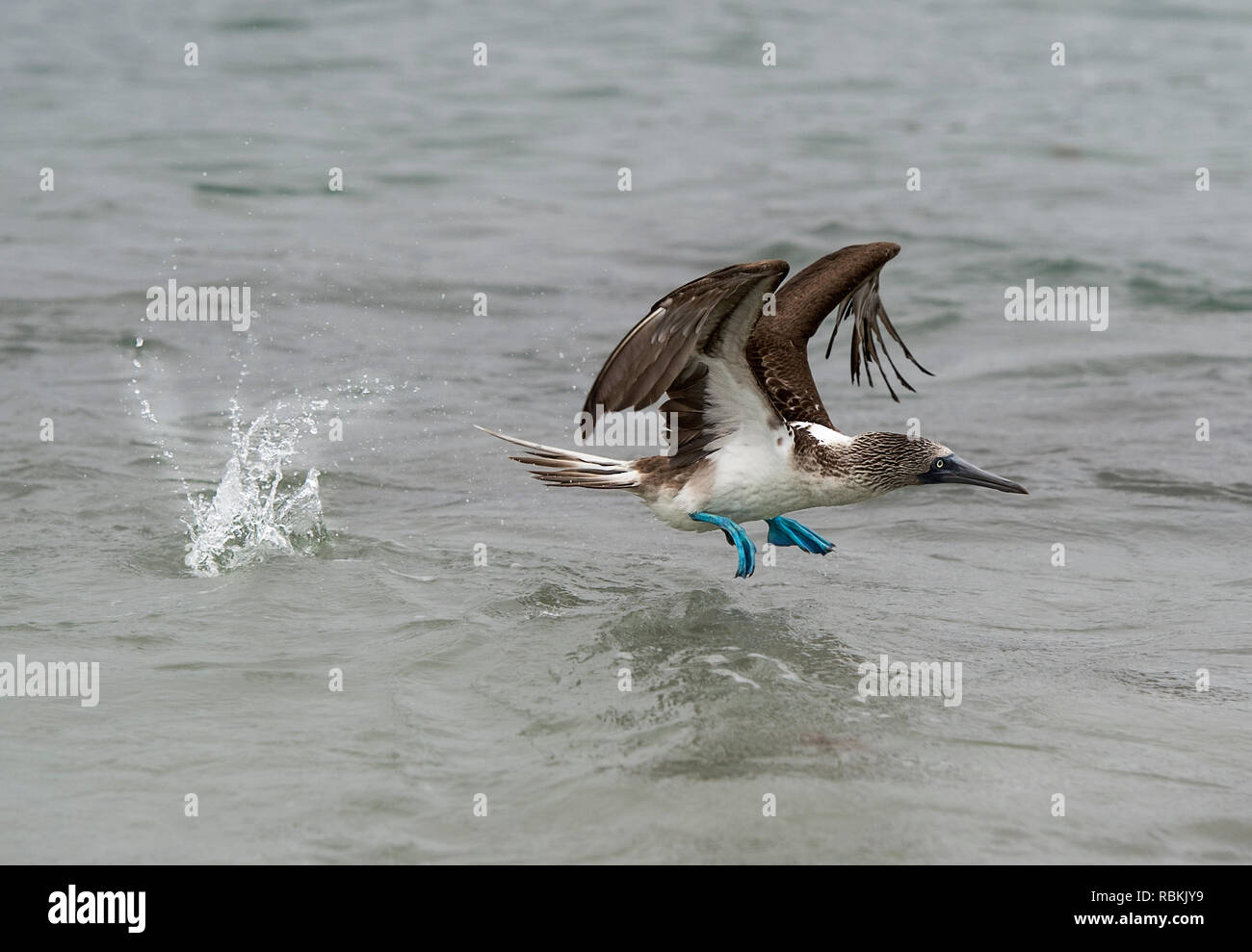 Blue-footed booby (Sula nebouxii) in flight, a marine bird of the boobies (Sulidae) family endemic to Galapagos, Isabela Island, Galapagos Islands, Ec - Stock Image