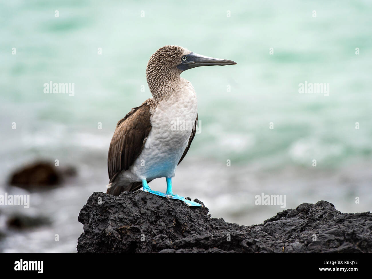 Blue-footed booby (Sula nebouxii), a marine bird of the boobies family (Sulidae), endemic to Galapagos, Isabela Island, Galapagos Islands, Ecuador - Stock Image