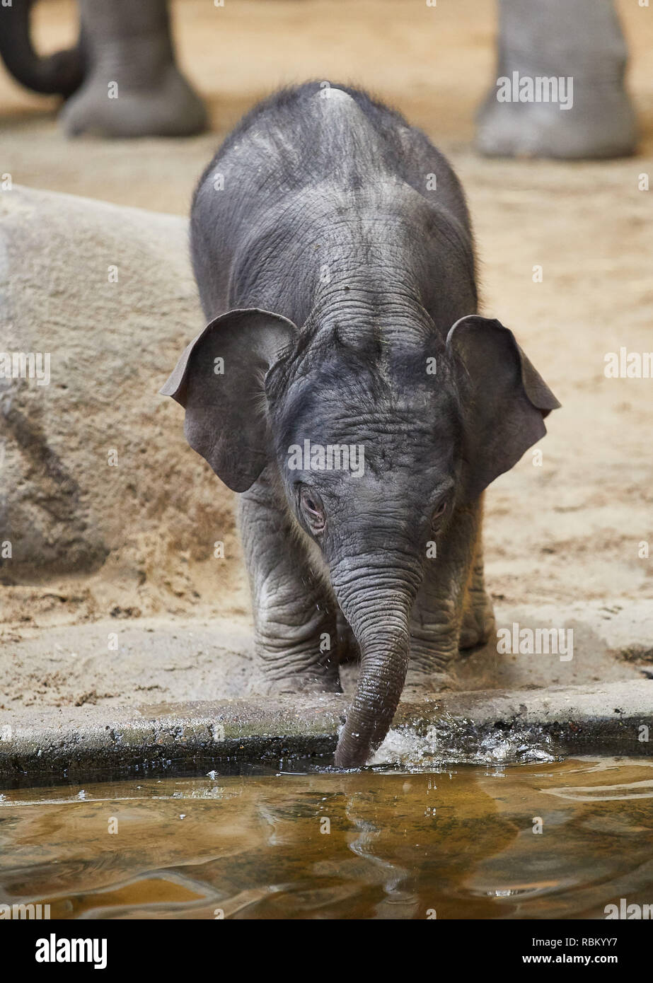 Hamburg, Germany. 11th Jan, 2019. The baby elephant with the name Santosh drinks during a press meeting to his official name announcement at Hagenbeck in the indoor enclosure. Santosh was born on Christmas Eve. Credit: Georg Wendt/dpa/Alamy Live News - Stock Image