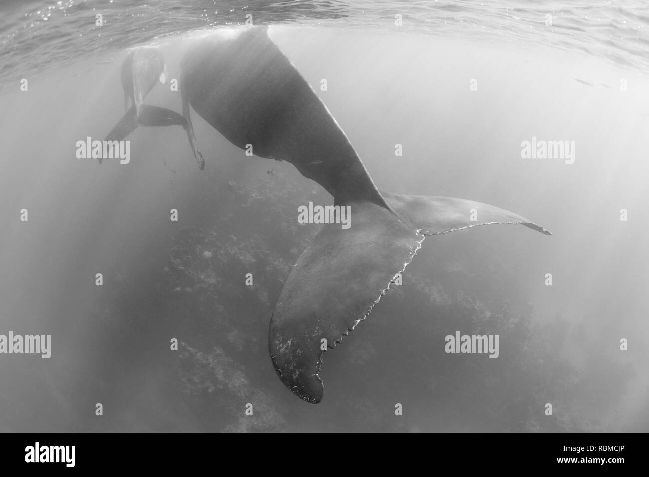 A magnificent, Humpback whale, Megaptera novaeangliae, swims in the clear, blue waters of the Caribbean Sea. - Stock Image
