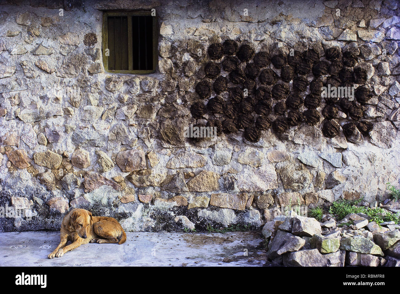 Dog sitting besides wall with dried cow dungs, Mysore, Karnataka, India, Asia - Stock Image