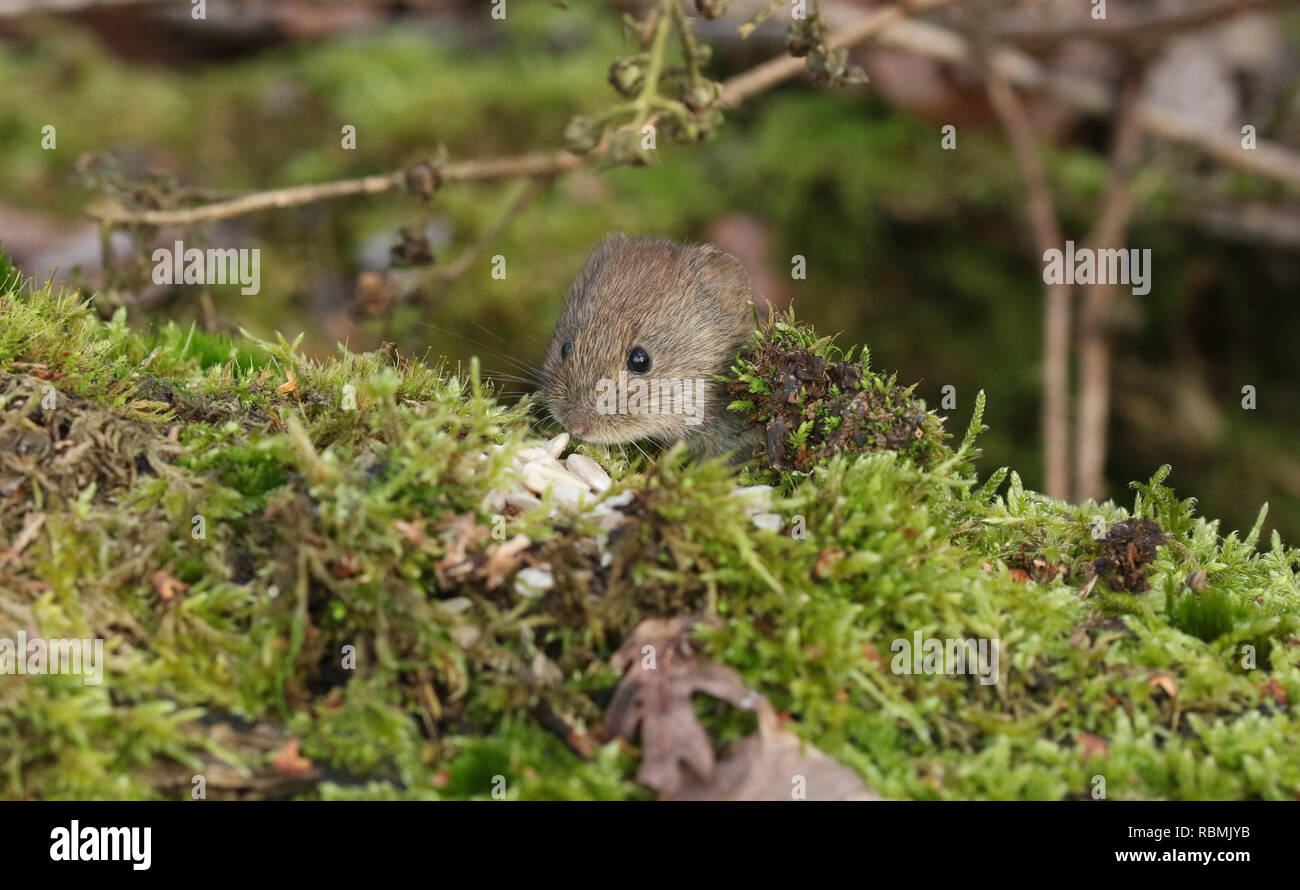 A cute wild Bank Vole, Myodes glareolus foraging for food in woodland. - Stock Image