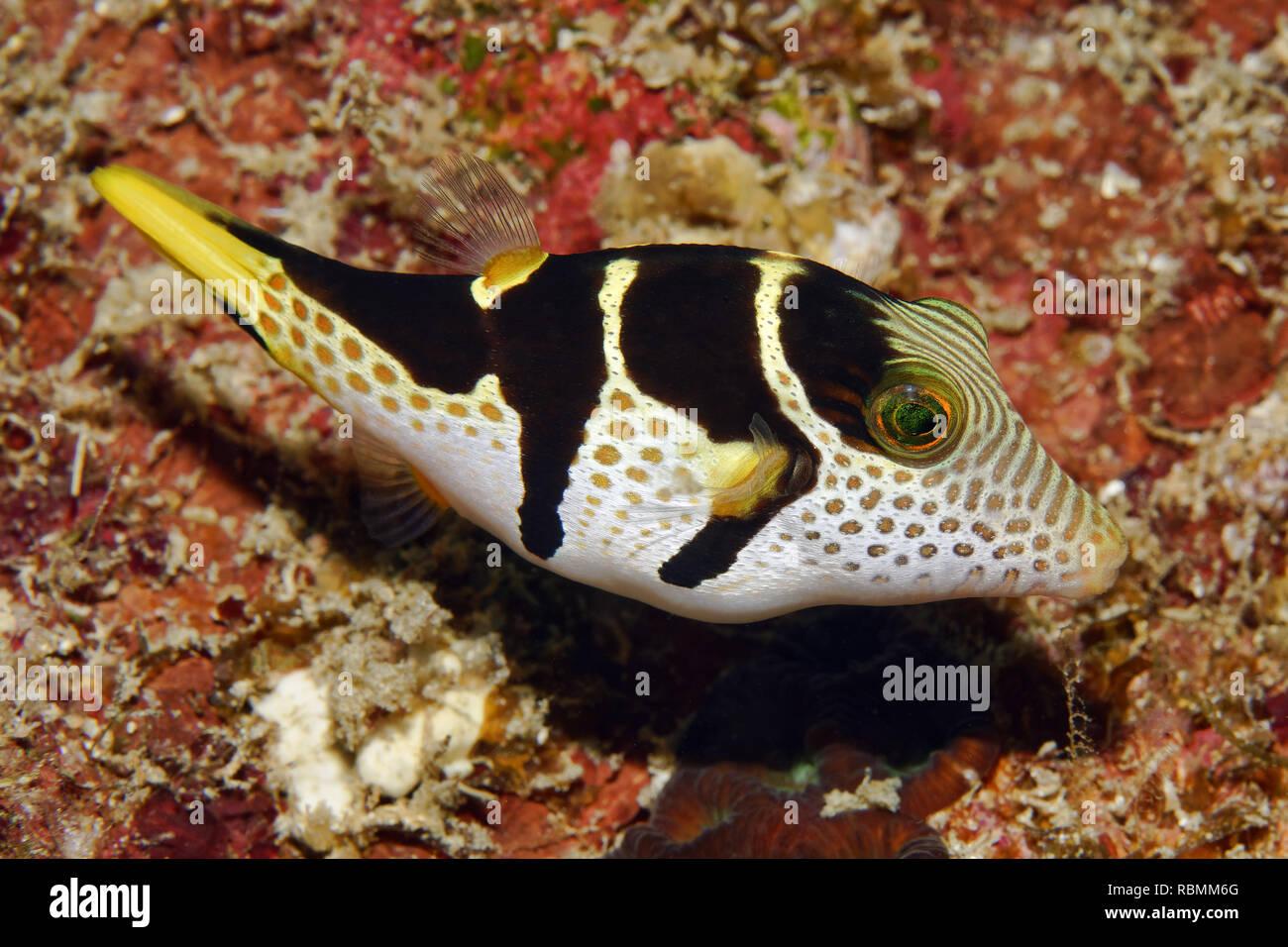Black-saddled toby - Canthigaster valentini Stock Photo