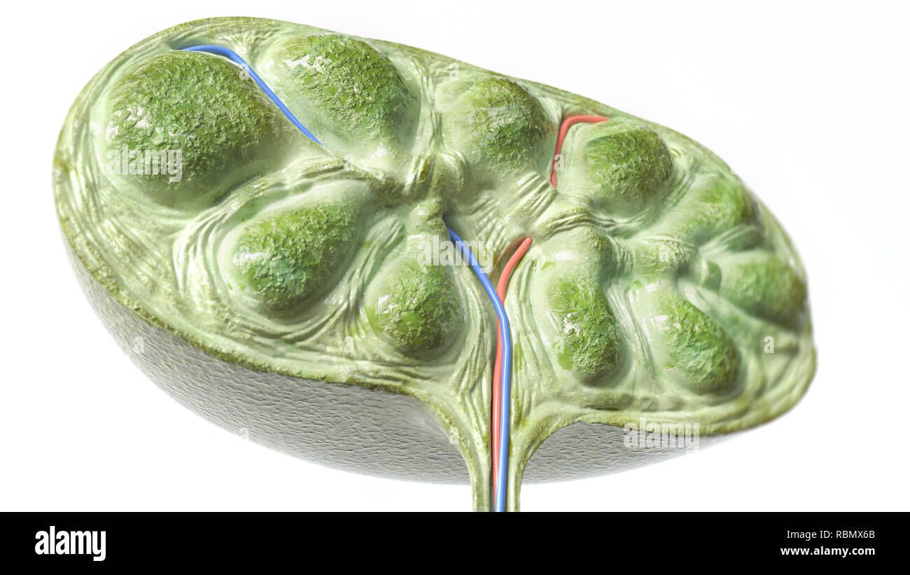 Lymph node section - 3D Rendering - Stock Image