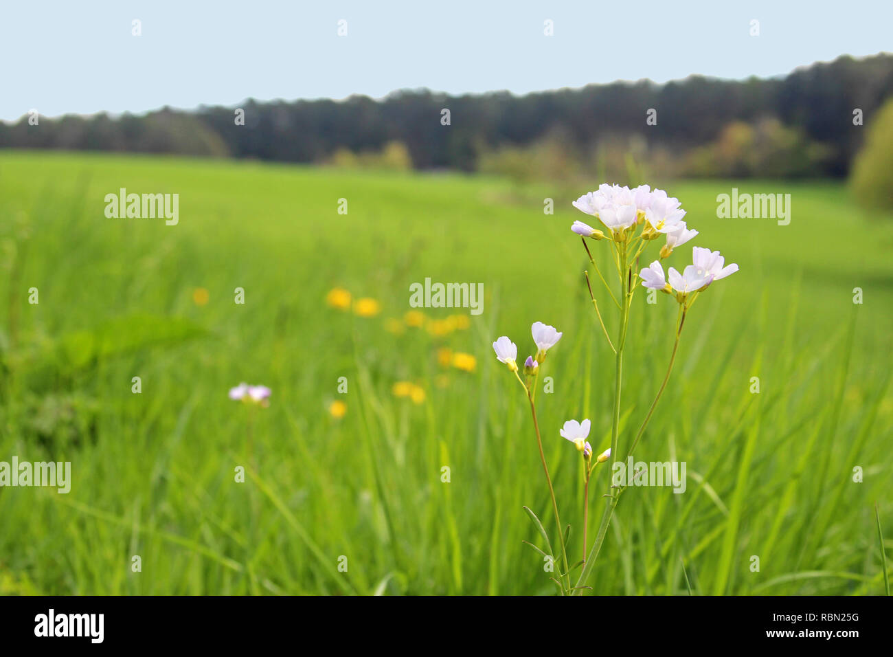 cuckoo flower in a meadow, forest in the background - Stock Image