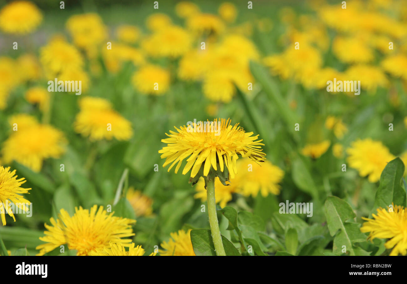 Blooming yellow dandelion meadow, green and yellow - Stock Image