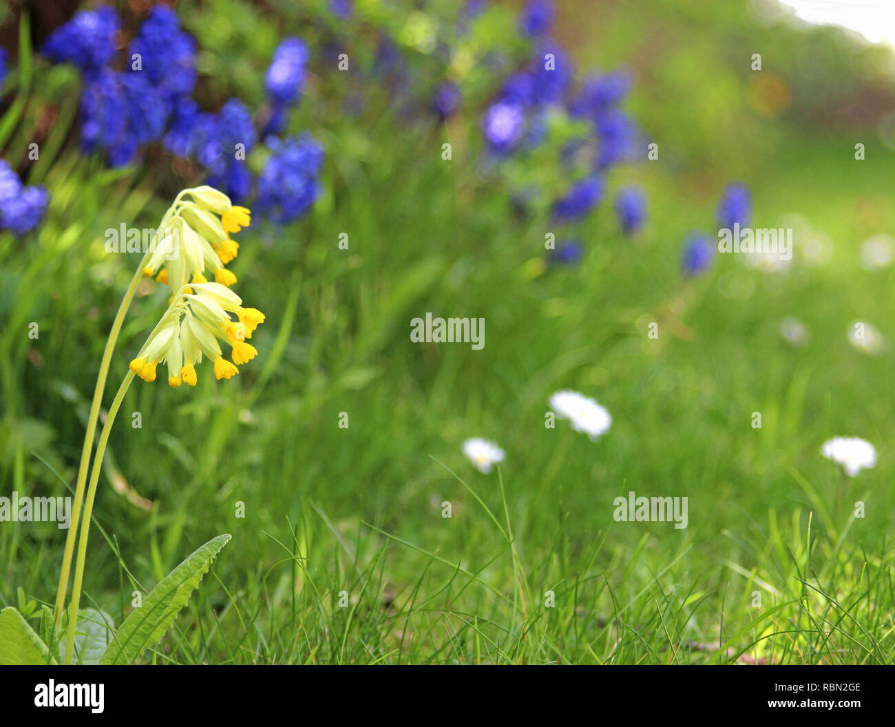 garden with cowslip in the foreground - Stock Image