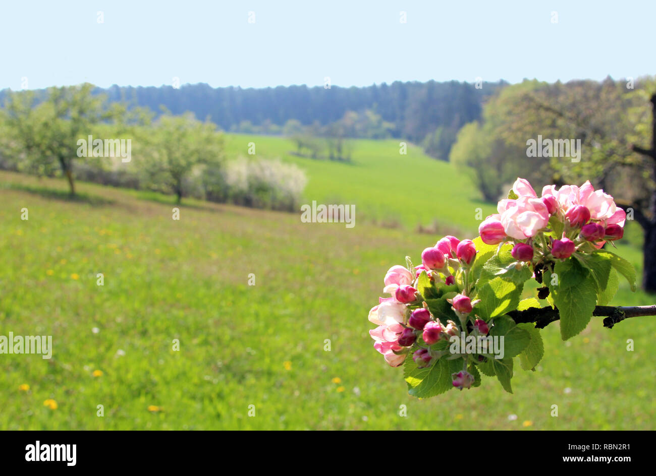 springtime landscape with trees , meadows and a branch with apple blossoms, forest in the background - Stock Image