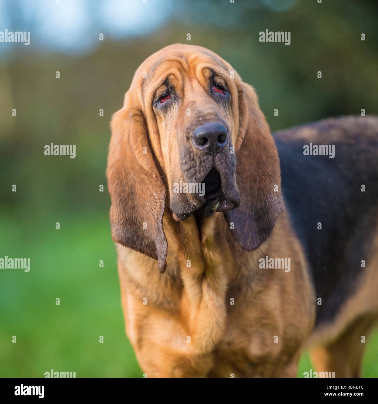 bloodhound - Stock Image