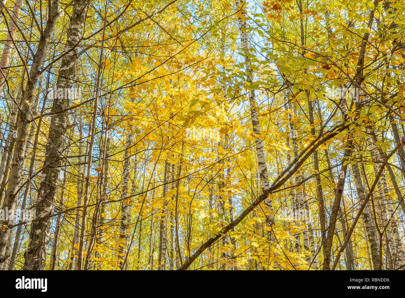 Rays of sunlight in the branches, Trees Stock Photo