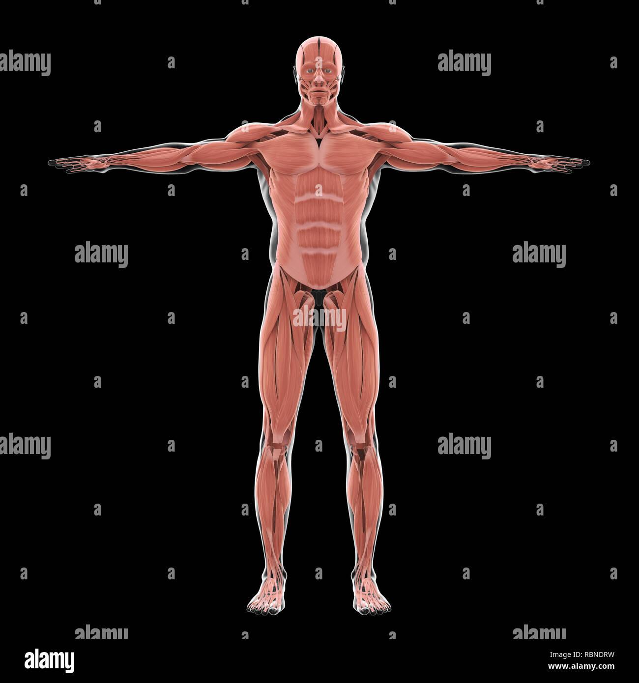 Human Muscle Illustration Stock Photos Human Muscle Illustration