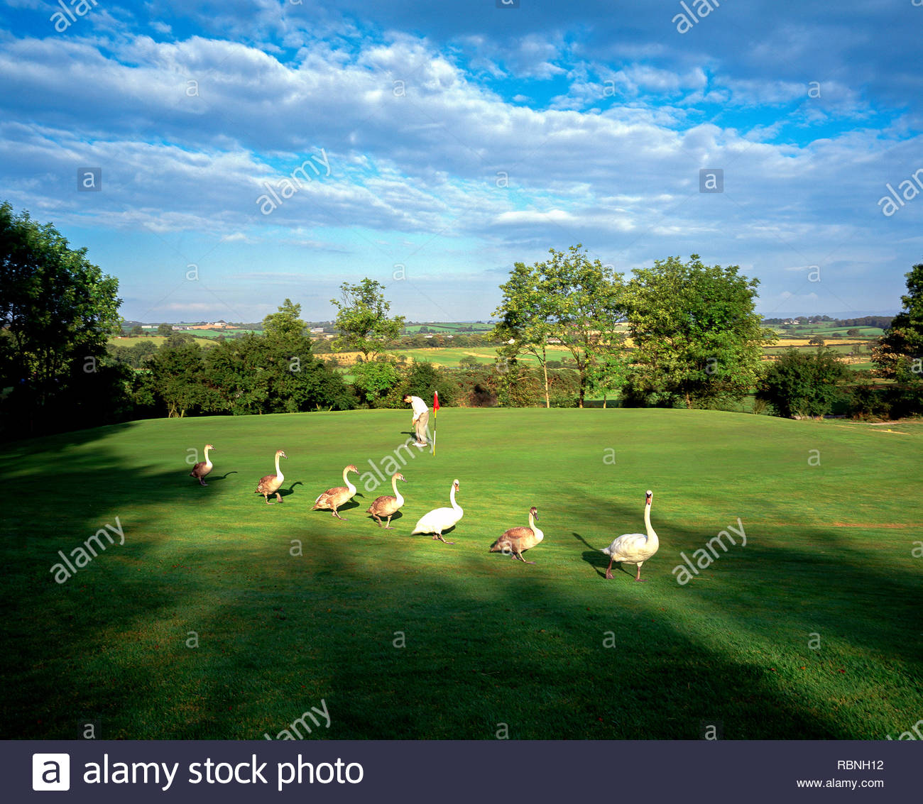 Swans crossing the putting green at Blackwood Golf Course, Co. Down - Stock Image