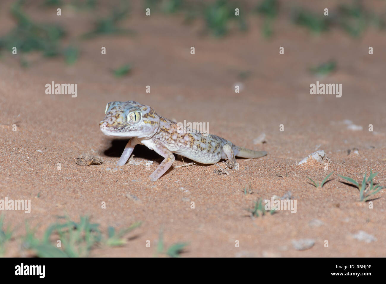 Gecko in the United Arab Emirates at night. Stock Photo