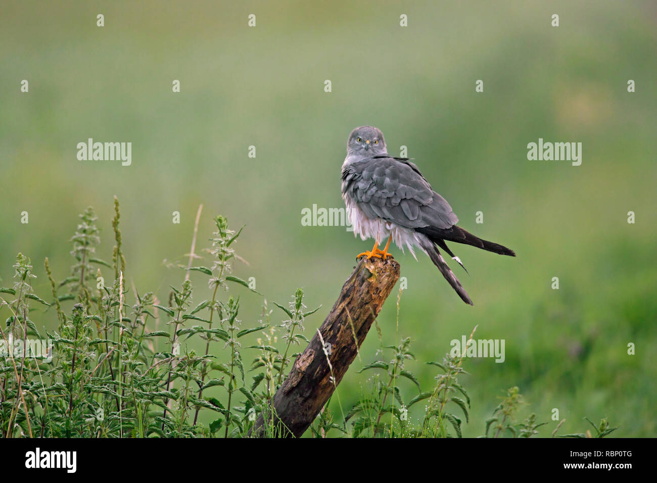 Montagu's harrier (Circus pygargus), male perched on fence post in grassland - Stock Image