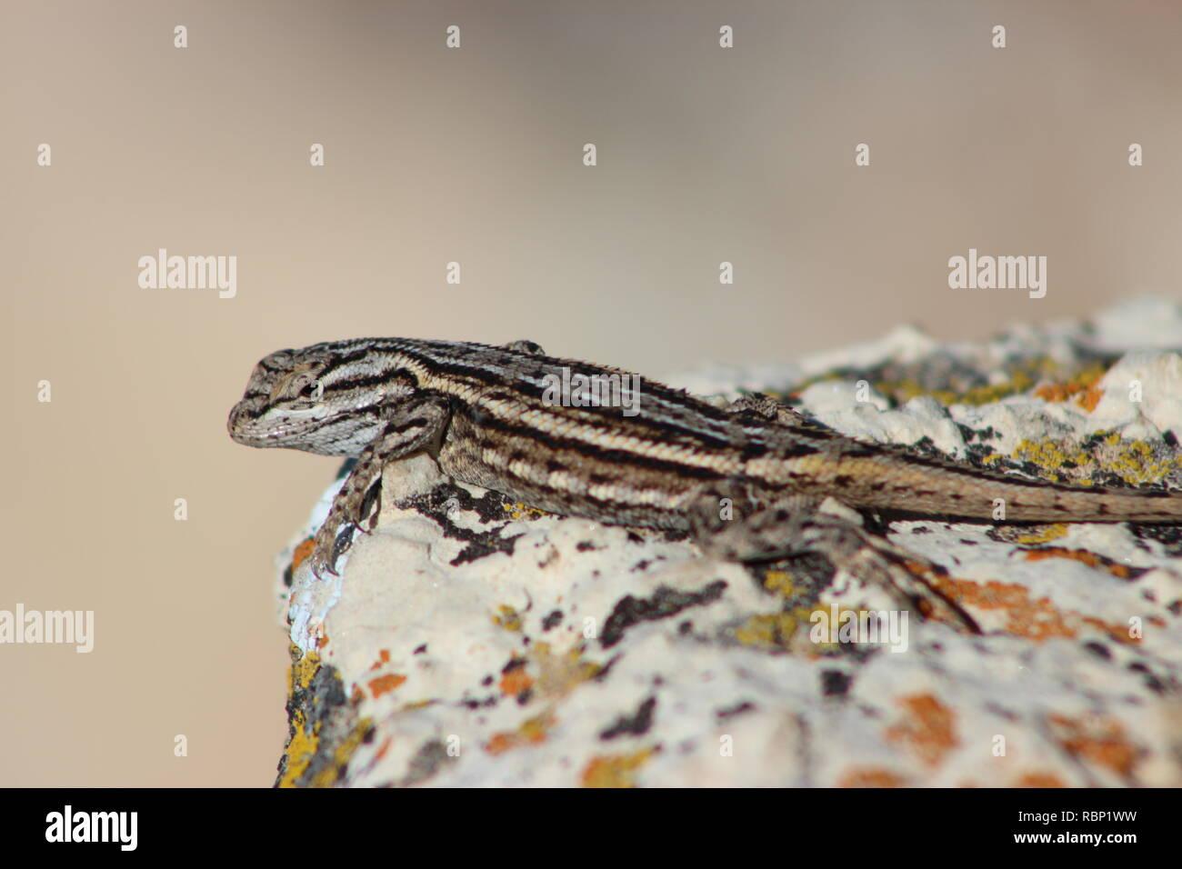 Plateau lizard at the Grand Canyon National Park, Arizona Stock Photo