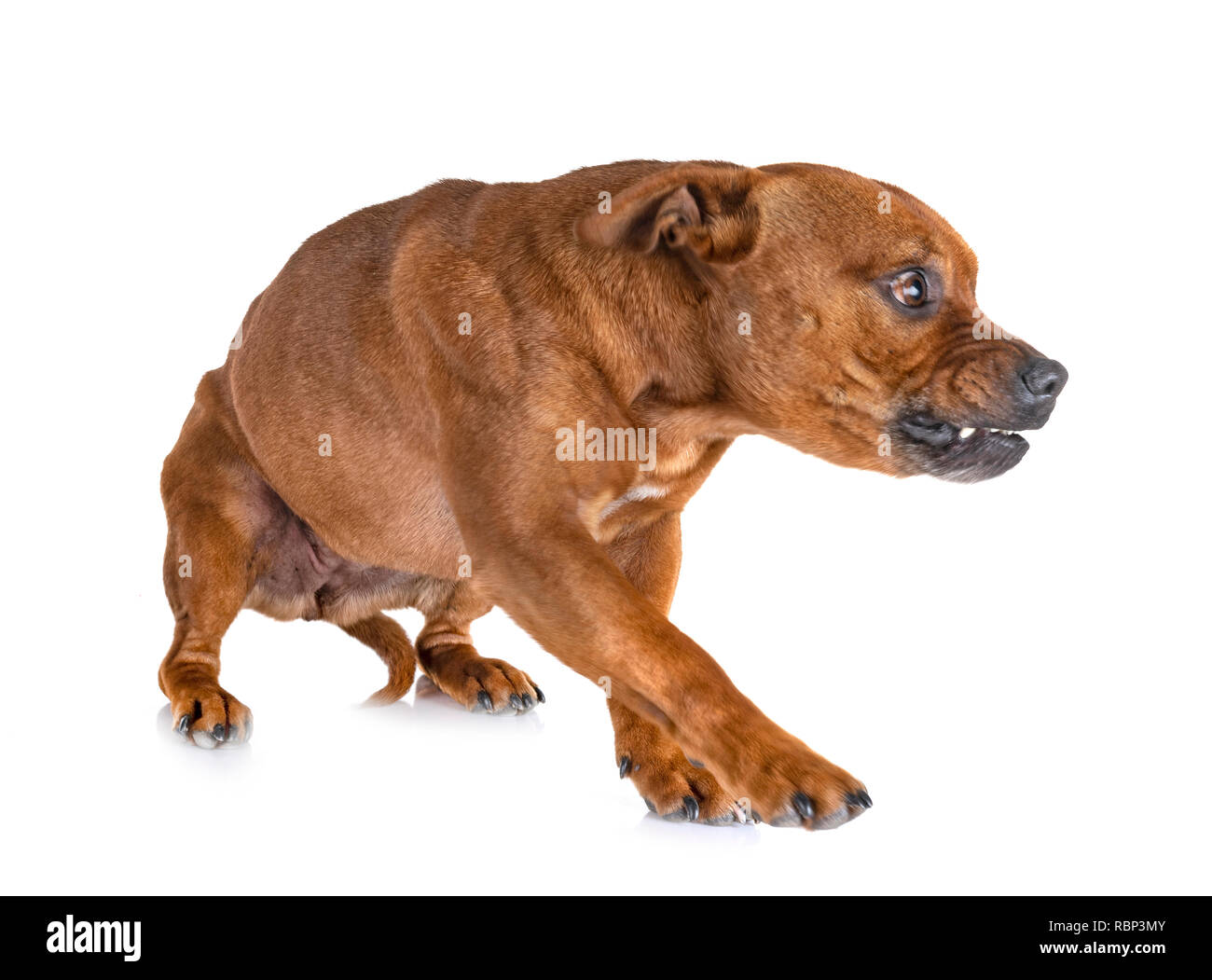 staffordshire bull terrier in front of white background - Stock Image