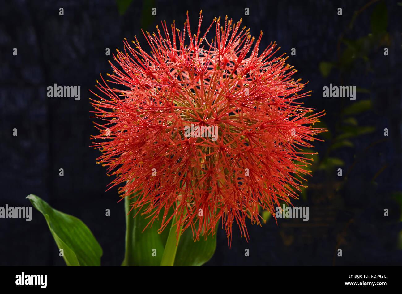 football lily flower, Mumbai, Maharashtra, India, Asia - Stock Image