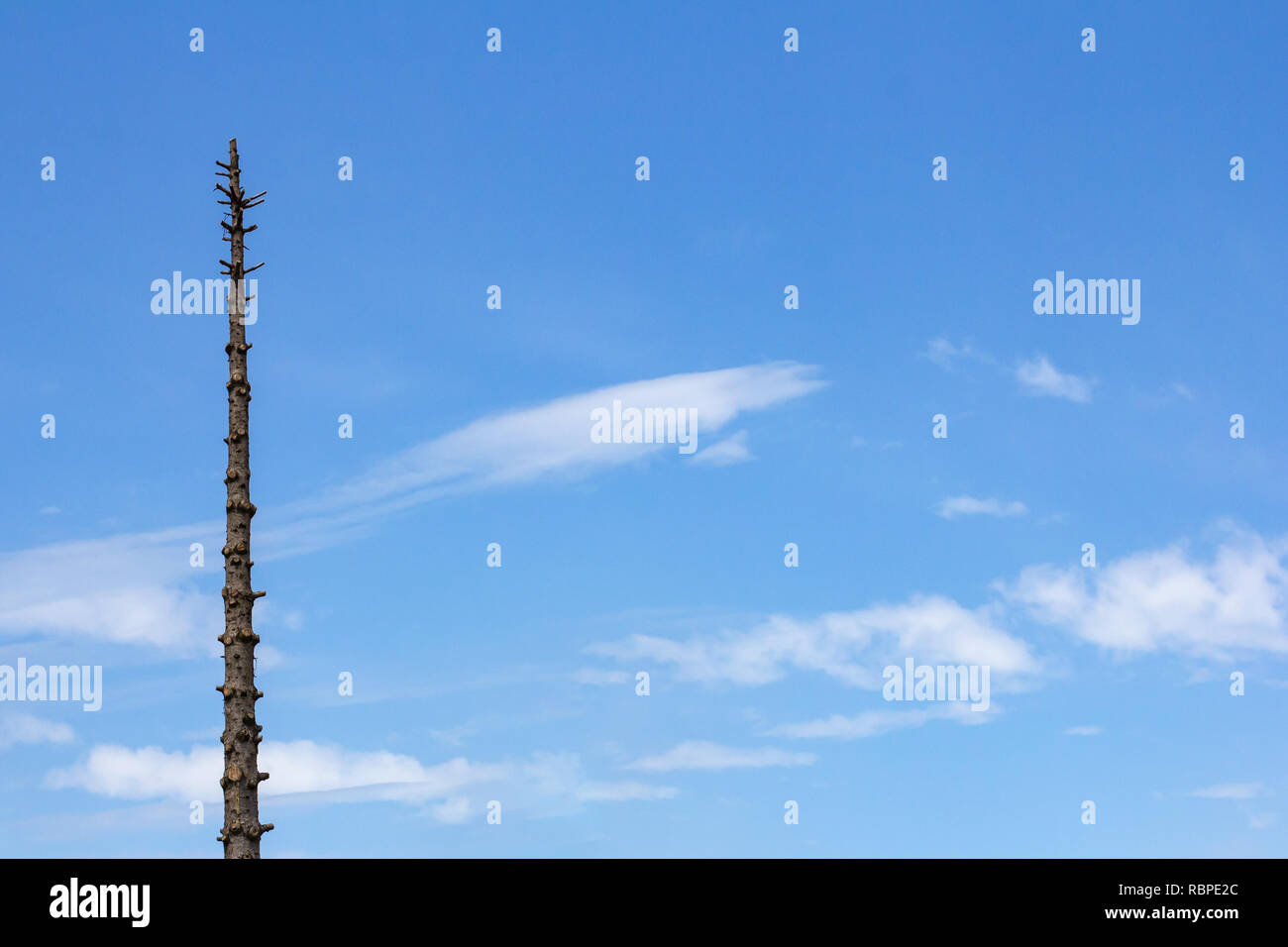 Tree with all branches cut off isolated against a blue sky with wispy clouds - Stock Image
