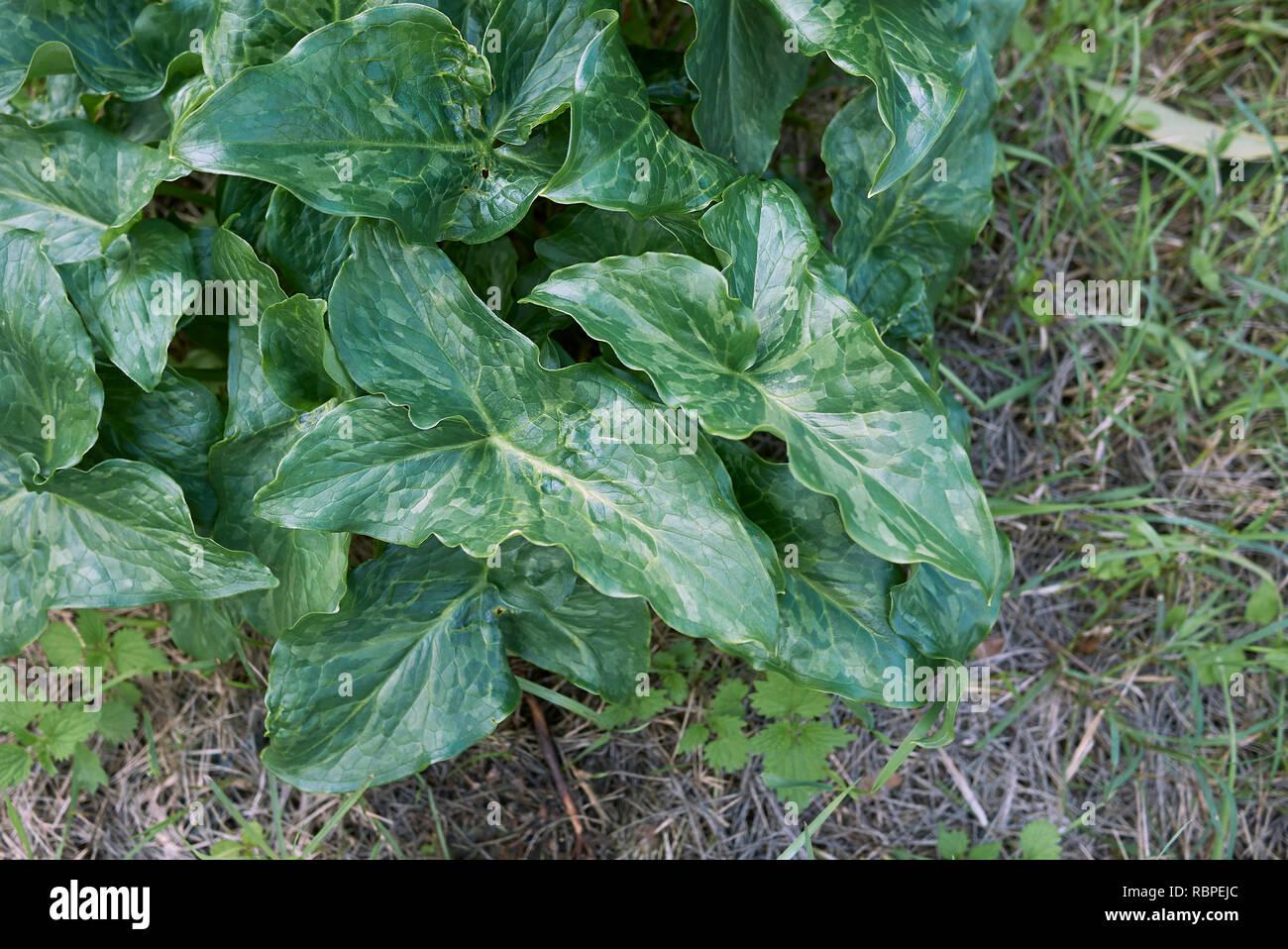 Arum italicum plant - Stock Image