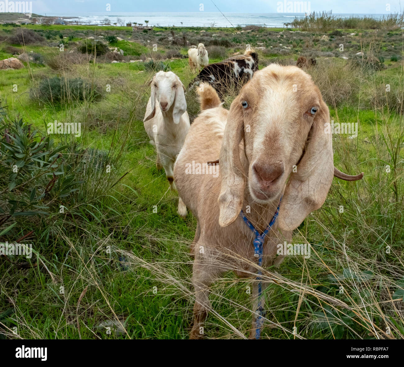 Inquisitive goats look at the camera in Paphos, Cyprus. - Stock Image