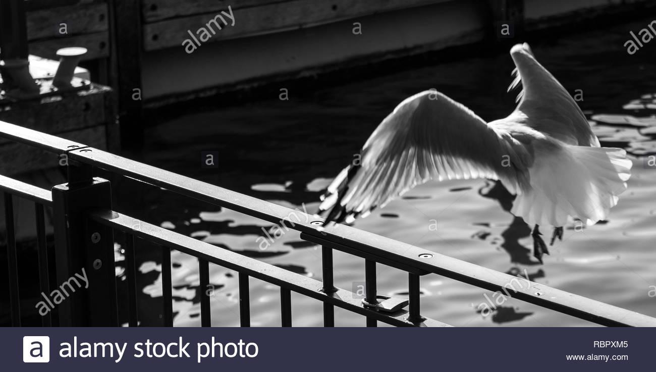 Seagull landing on handrail - Stock Image