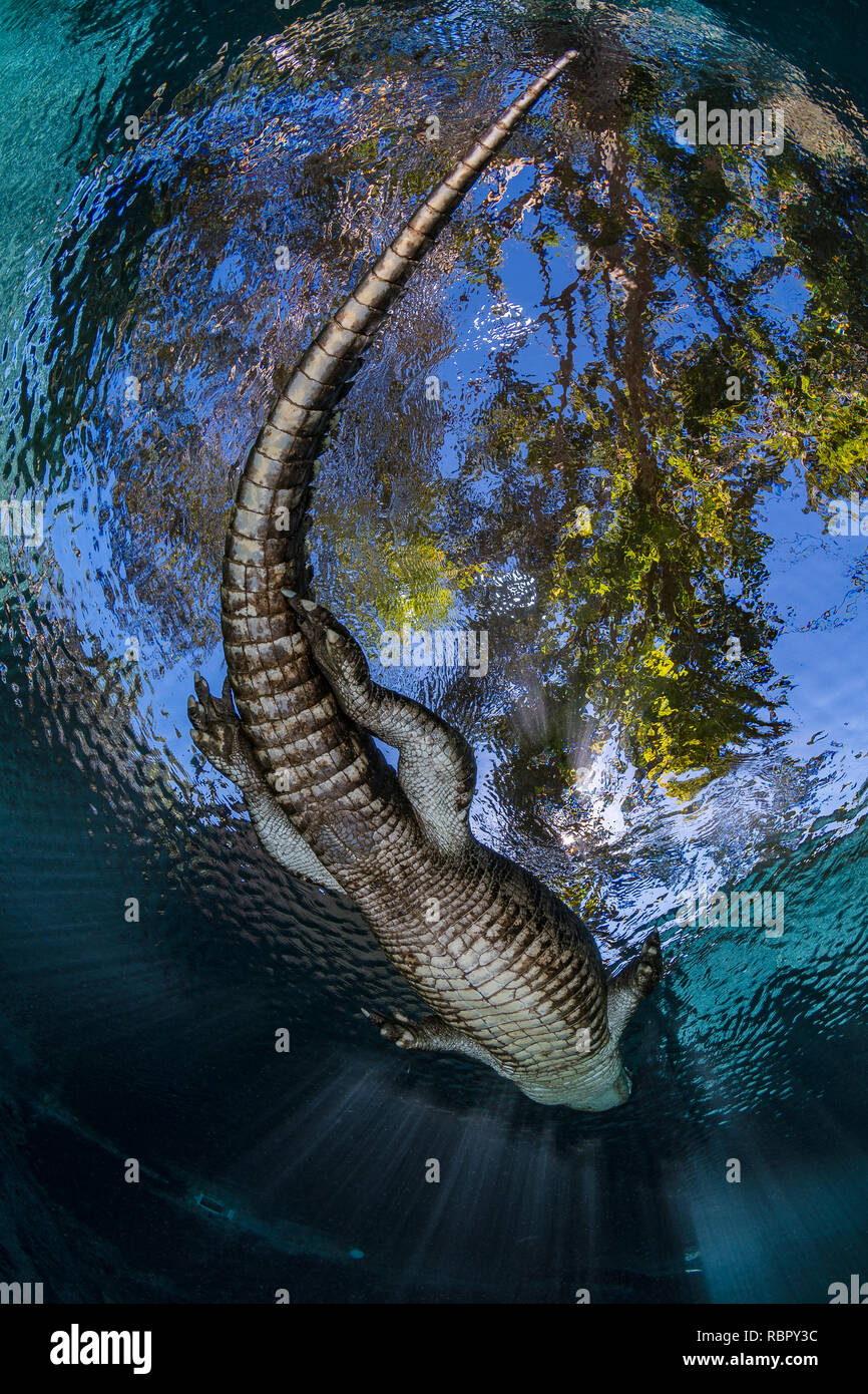 American alligator (Alligator mississippiensis) from below swimming near the surface - Stock Image