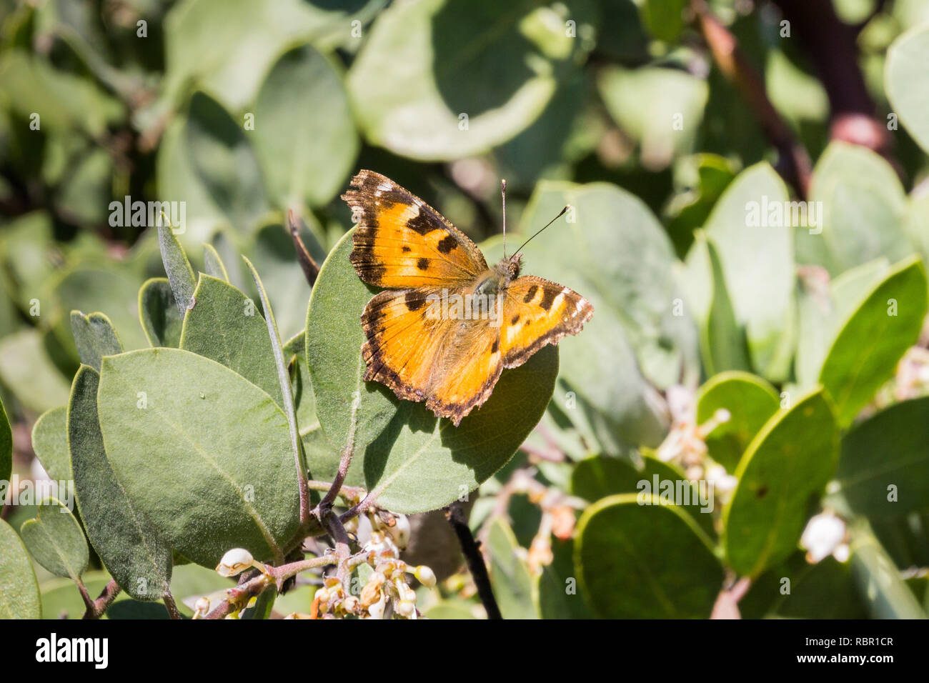 Satyr Comma butterfly (Polygonia satyrus) resting on the leaves of a manzanita tree, California Stock Photo