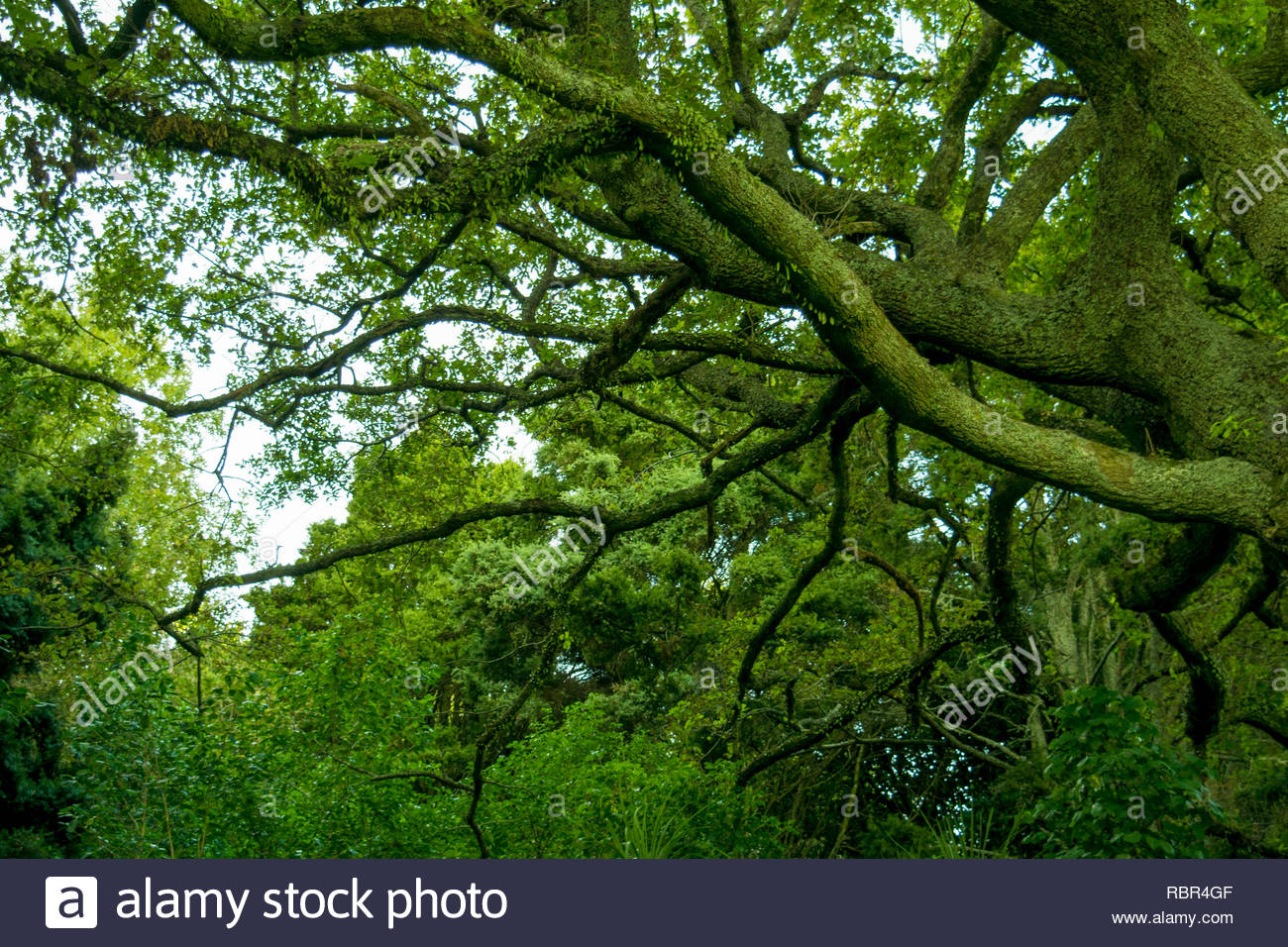 Lush tree branches at Mt Eden - Stock Image
