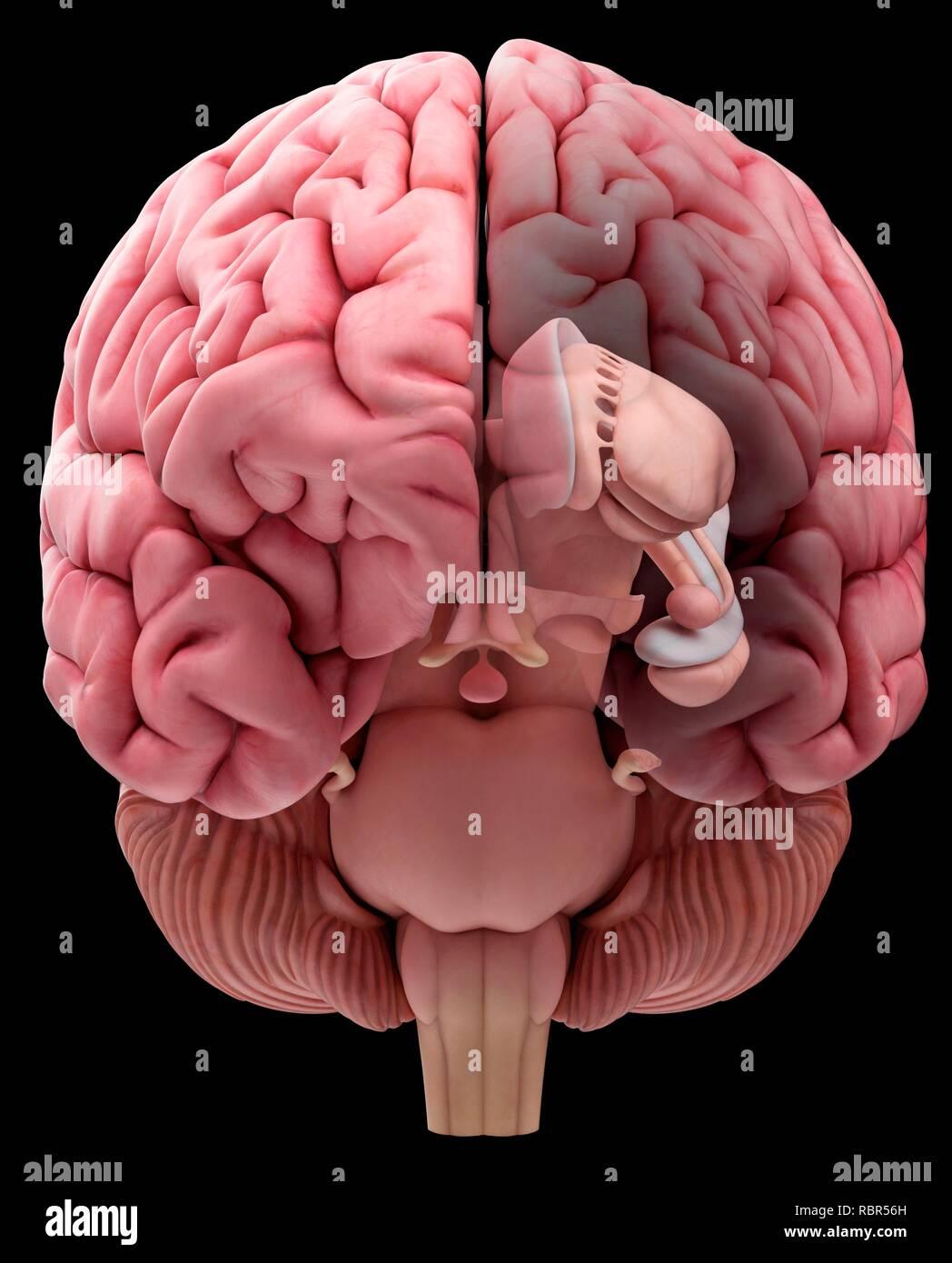 Illustration of the anterior human brain. - Stock Image