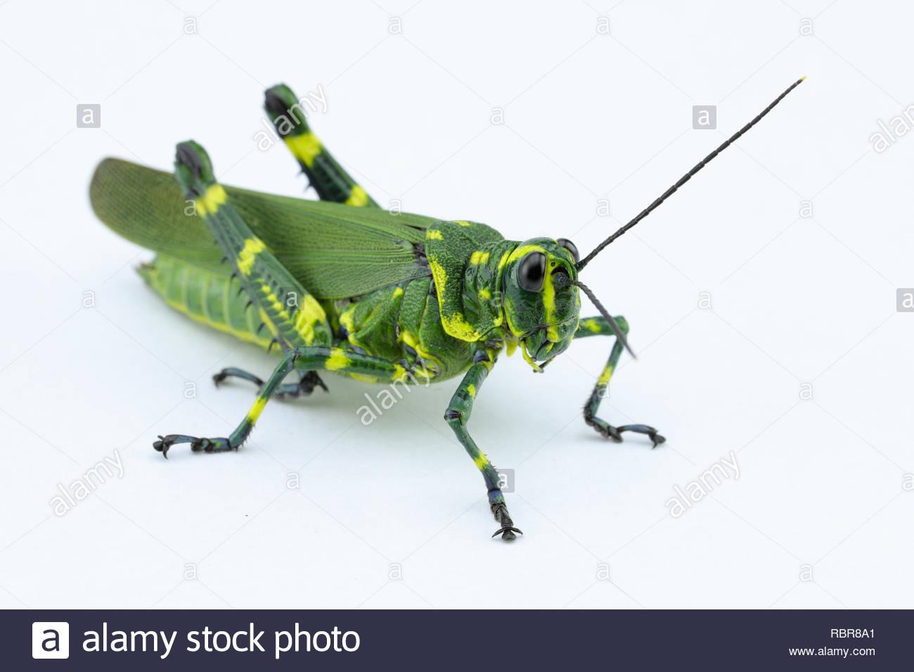 Tokyo Cufflinks Green Grasshopper TIE Clips