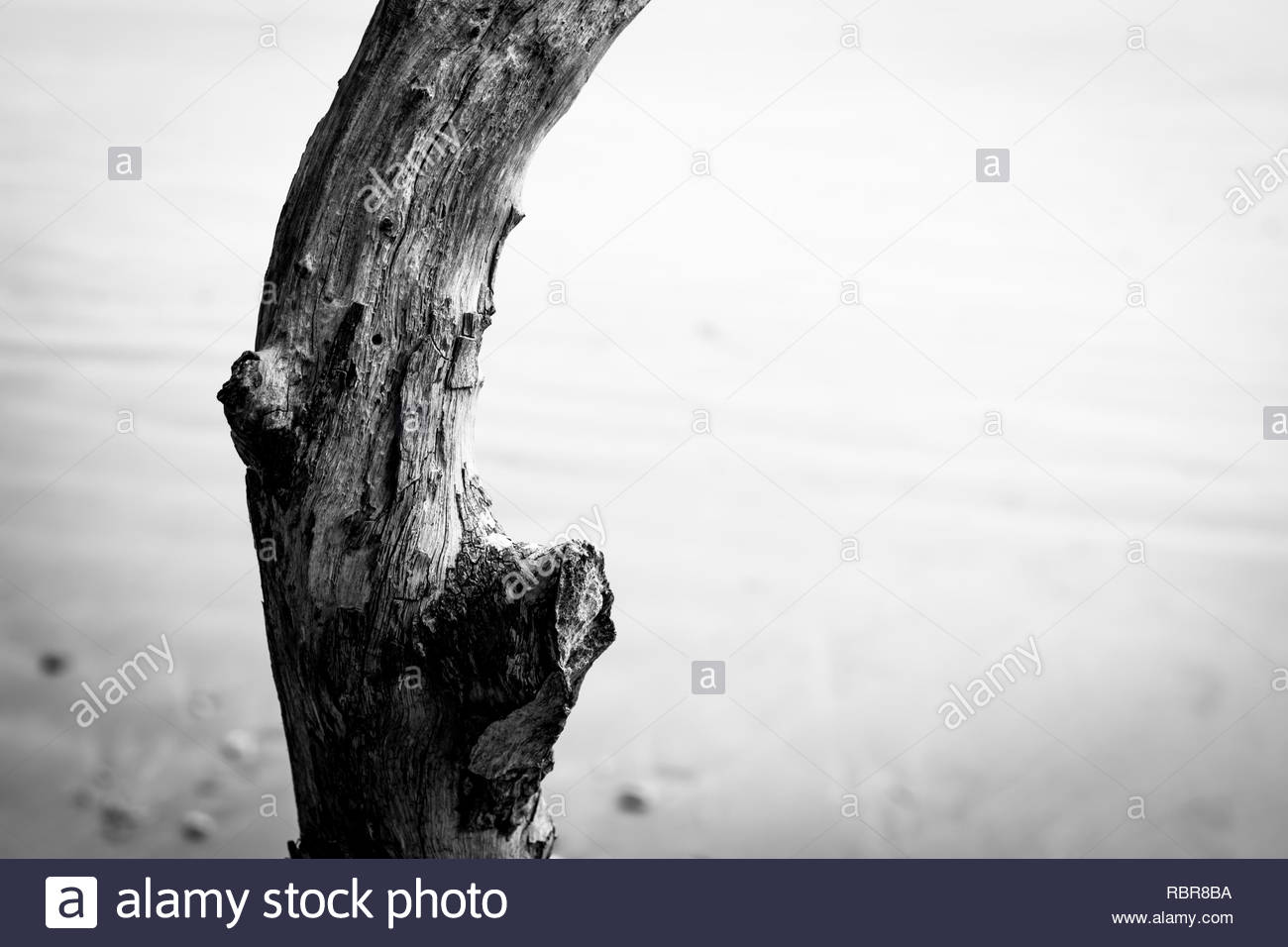 Pohutukawa trees at Coopers Beach - Stock Image
