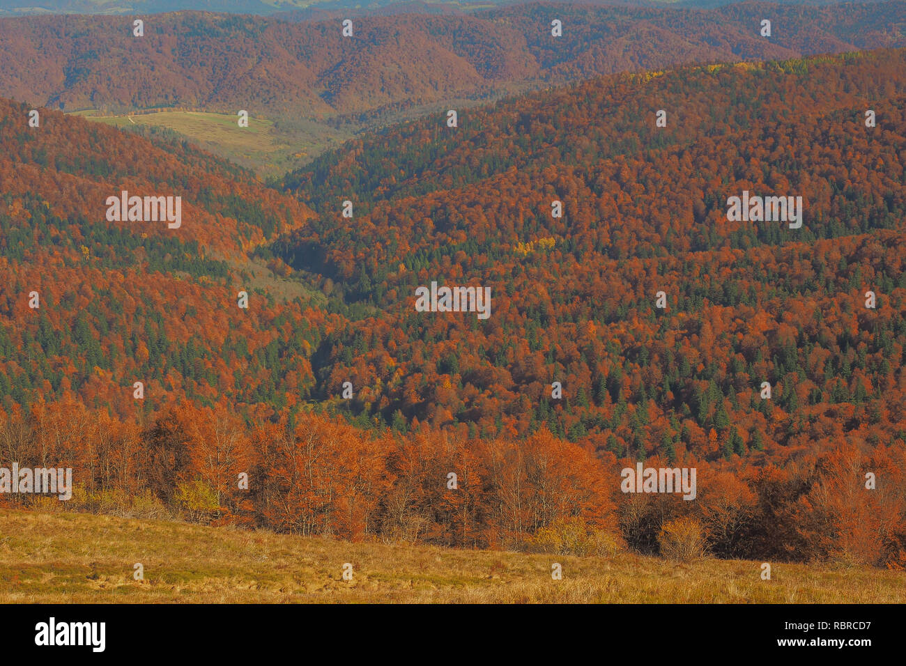 Red colors of beech forest in autumn. Bieszczady Mountains. Poland - Stock Image