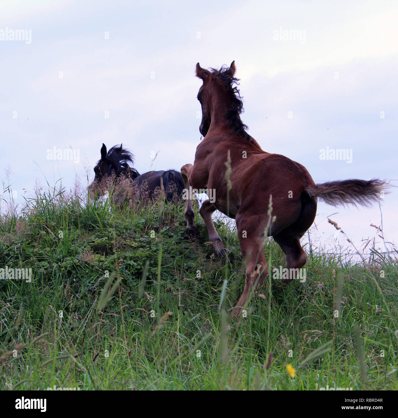 Foal is playing with his mother Stock Photo