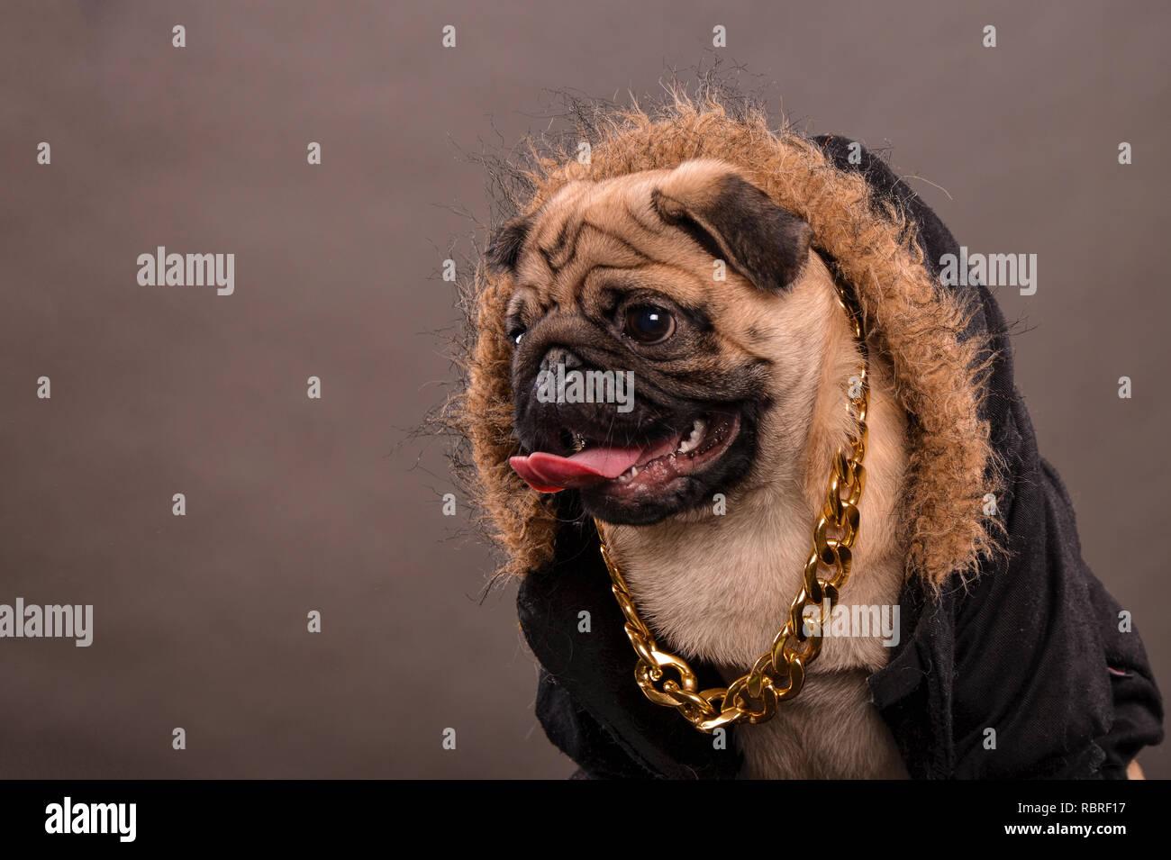 Pug dog wearing black jacket with fur hood and big golden necklace, gangster look, portrait, studio shot, horizontal orientation - Stock Image