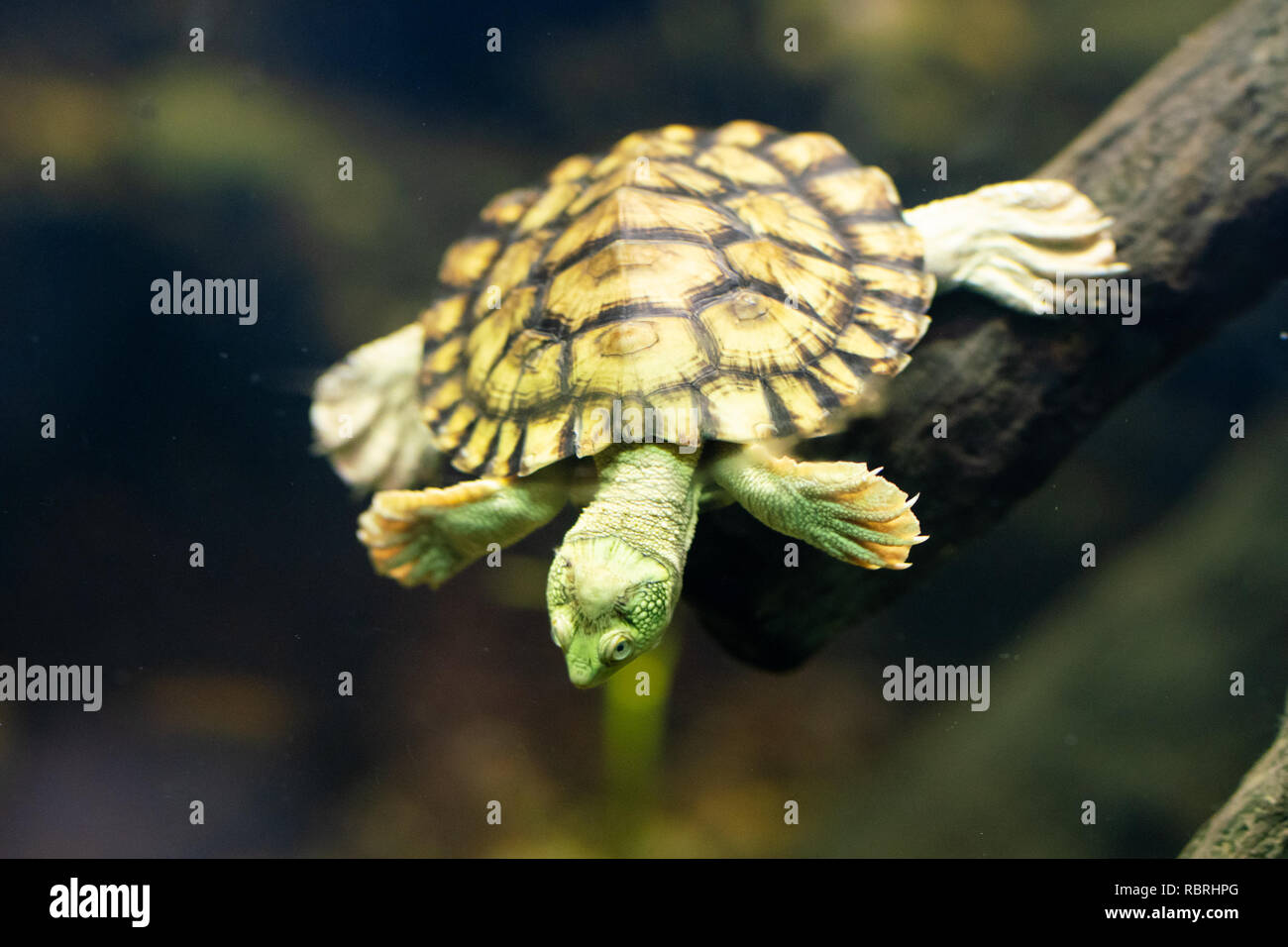 Underwater swimming Bellinger River snapping turtle or Myuchelys georgesi in NSW Australia Stock Photo