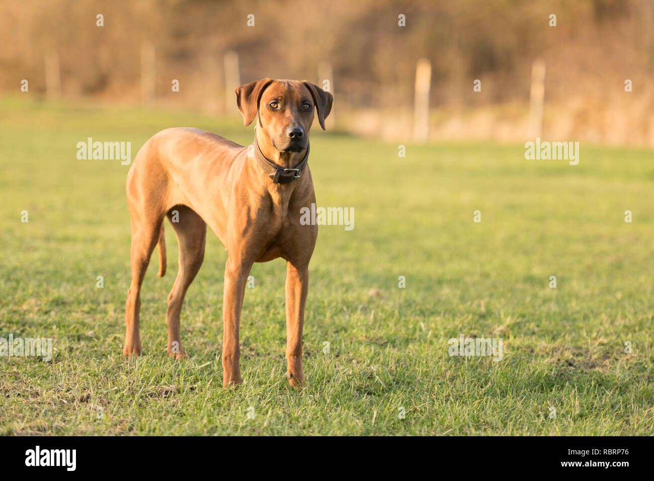 Proud Rhodesian Ridgeback dog is standing on a green meadow against blurred background an is looking forward - Stock Image