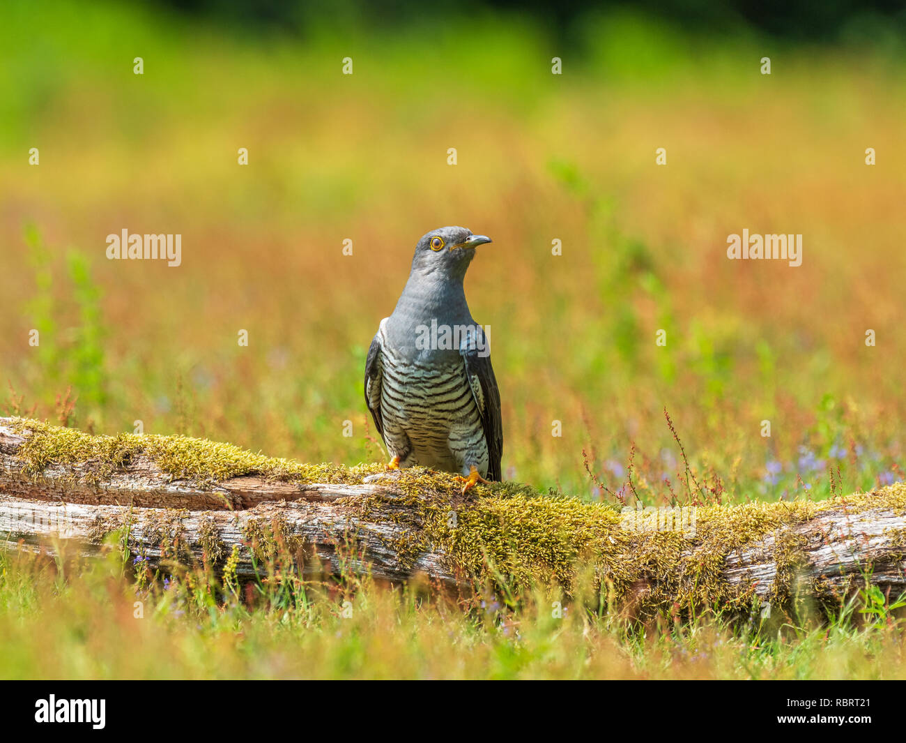 Cuckoo ( Cuculus canorus )  on the ground - Stock Image