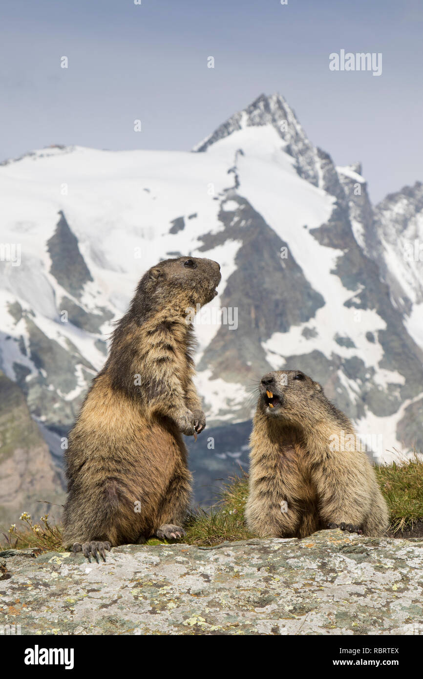 Alpine marmots (Marmota marmota) couple calling in front of the snow covered mountain Grossglockner, Hohe Tauern National Park, Carinthia, Austria - Stock Image
