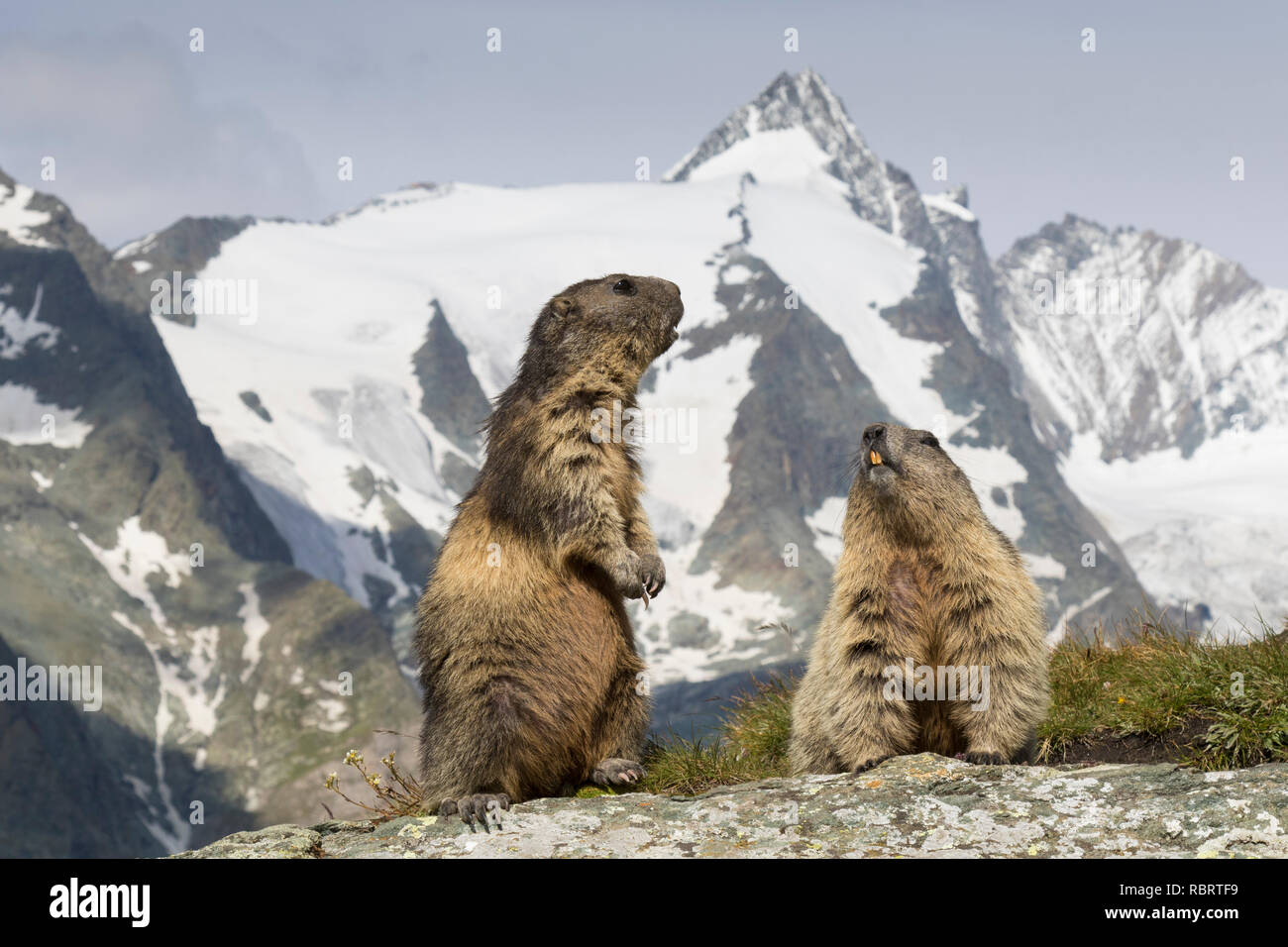 Alpine marmots (Marmota marmota) couple in front of the snow covered mountain Grossglockner, Hohe Tauern National Park, Carinthia, Austria - Stock Image