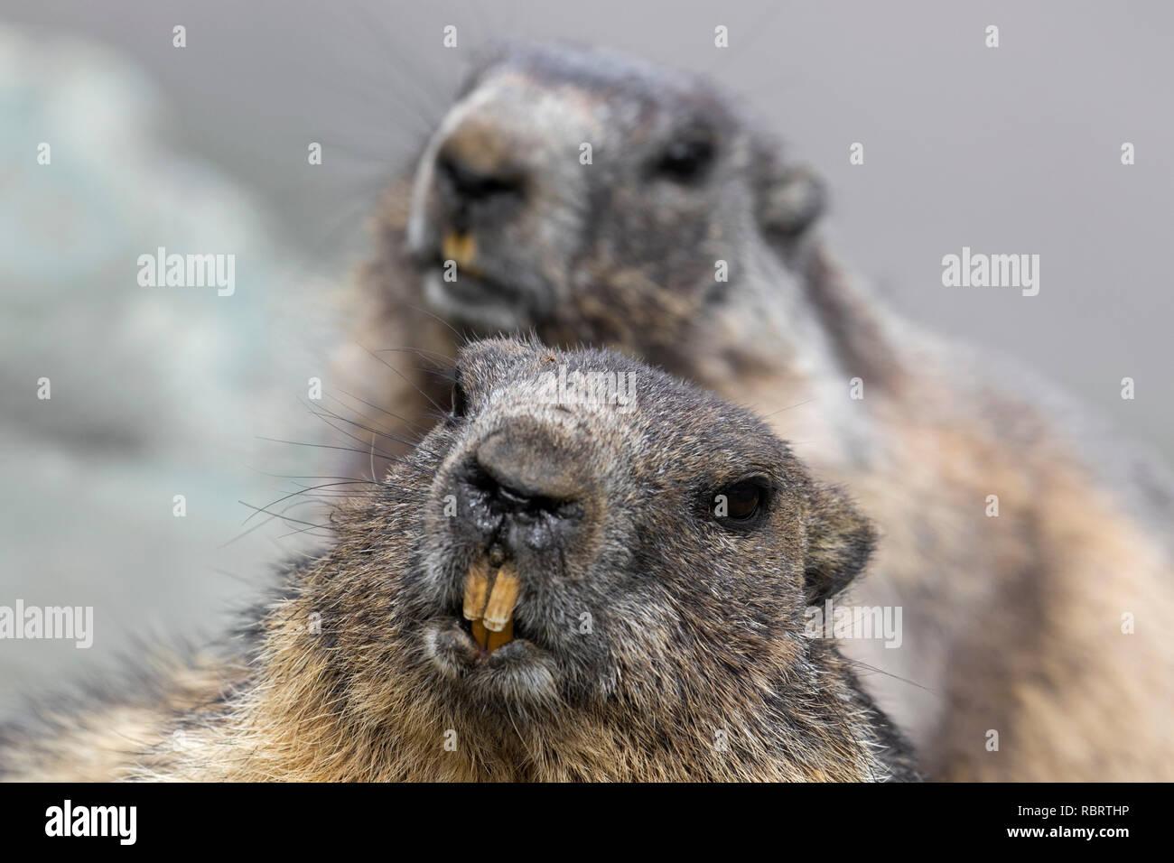 Close-up of Alpine marmot (Marmota marmota) couple showing large sharp incisors / front teeth - Stock Image