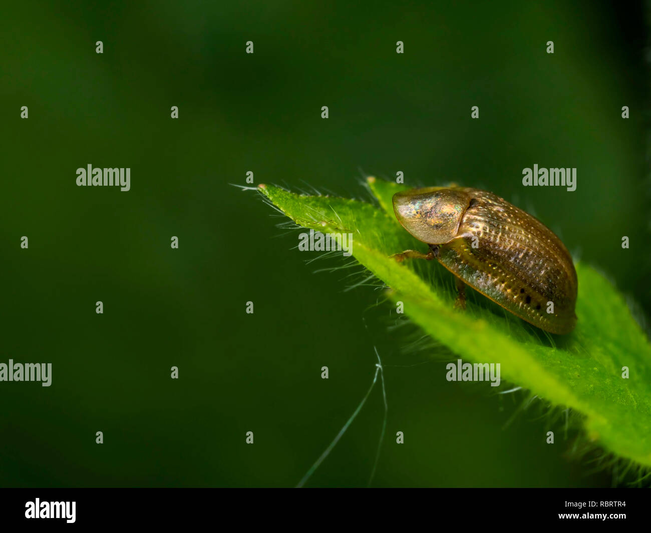 A Pale Tortoise Beetle (Cassida flaveola) found at Garston Wood in Dorset. - Stock Image