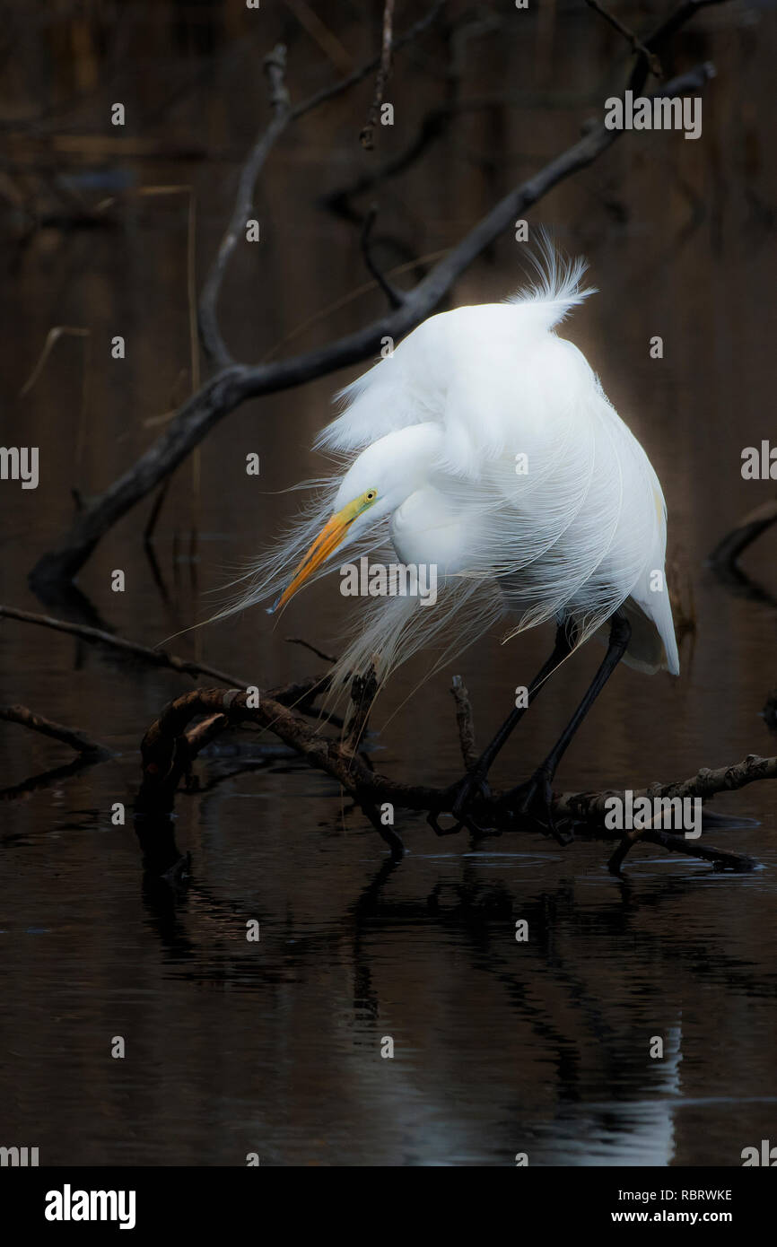 Great egret in salt marsh habitat with wind-swept plumes - Stock Image