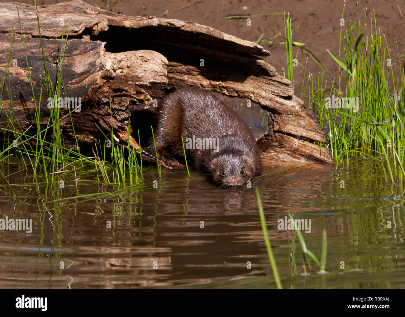 Mink Emerging from Log and Going into the Water - Stock Image