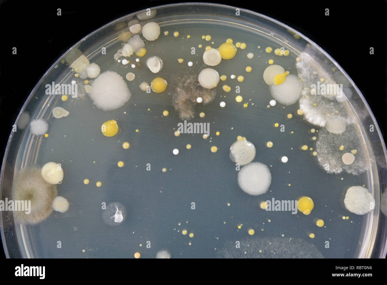 Close-up of bacteria and mold growing in a Petri dish. - Stock Image