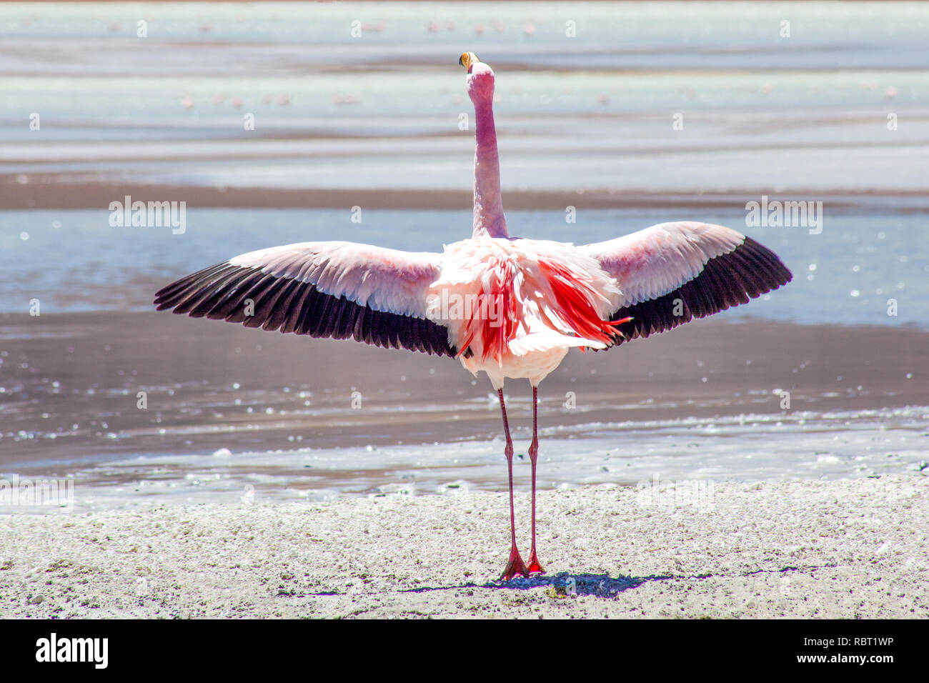 A large and colourful flamingo stands on tip toes with his wings fully outstretched and shouts his message to anyone listening. - Stock Image