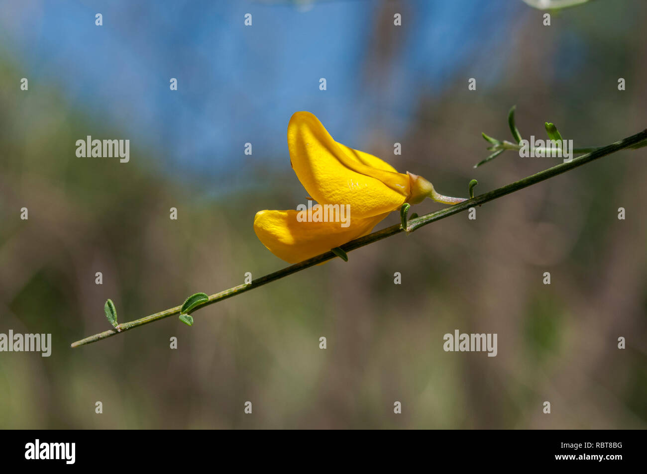 Flower of Common broom, Cytisus scoparius. It is a leguminous shrub native to western and central Europe. Stock Photo