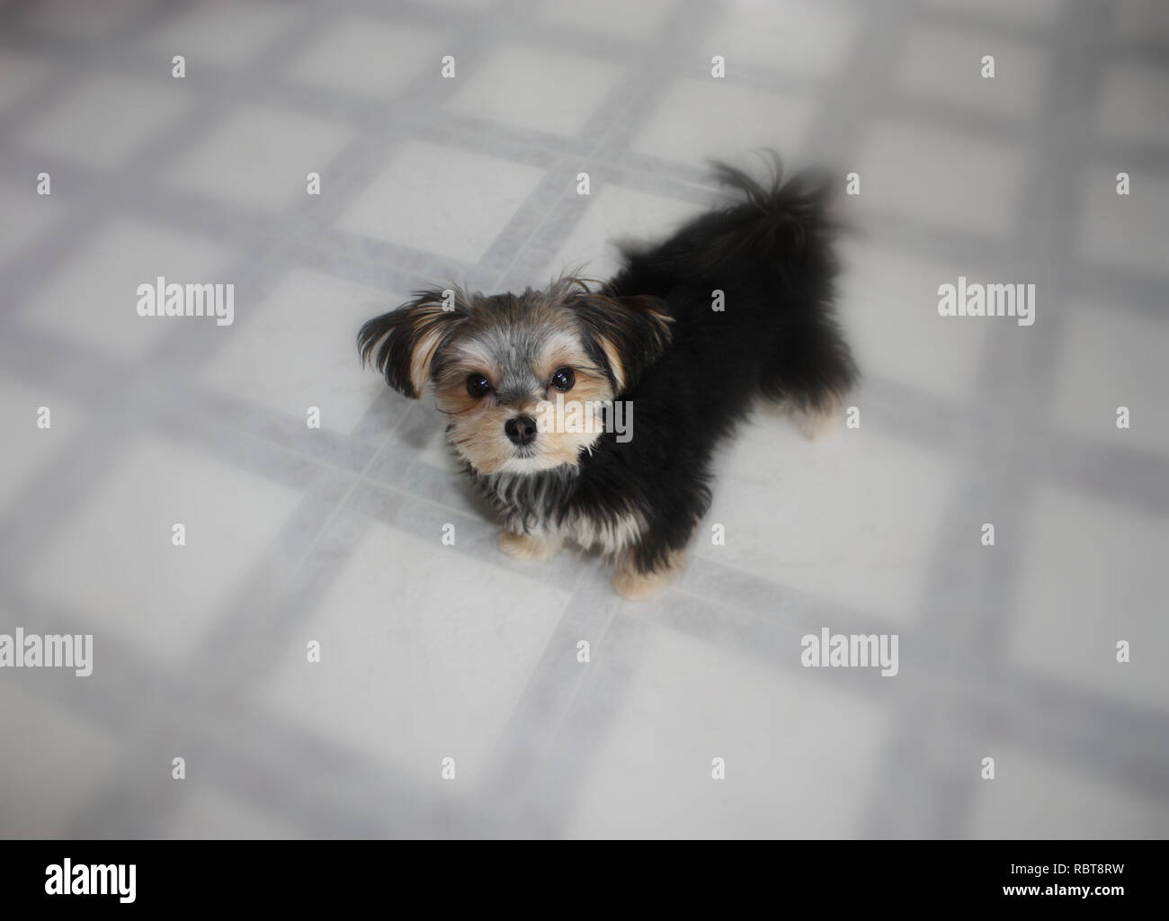 Close up, soft foucs, of a Morkie, Maltese/Yorkshire Terrier mix puppy - Stock Image