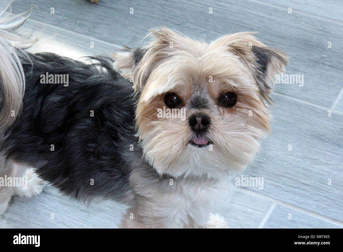 Close up of a Morkie, Maltese/Yorkshire Terrier mix - Stock Image